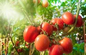 Dieta dei Pomodori