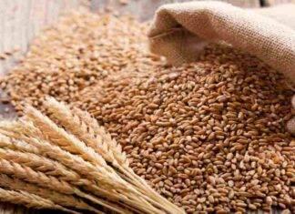 pasta al glifosato grano canadese