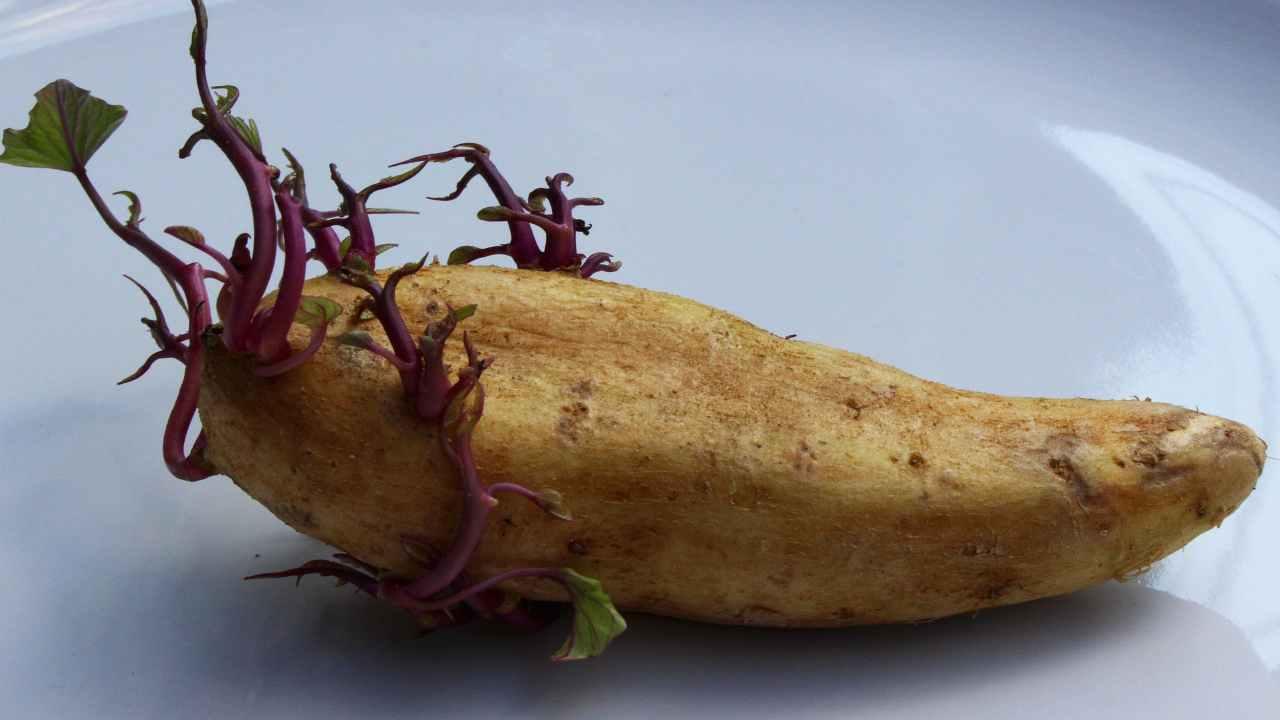 mangiare patate germogliate