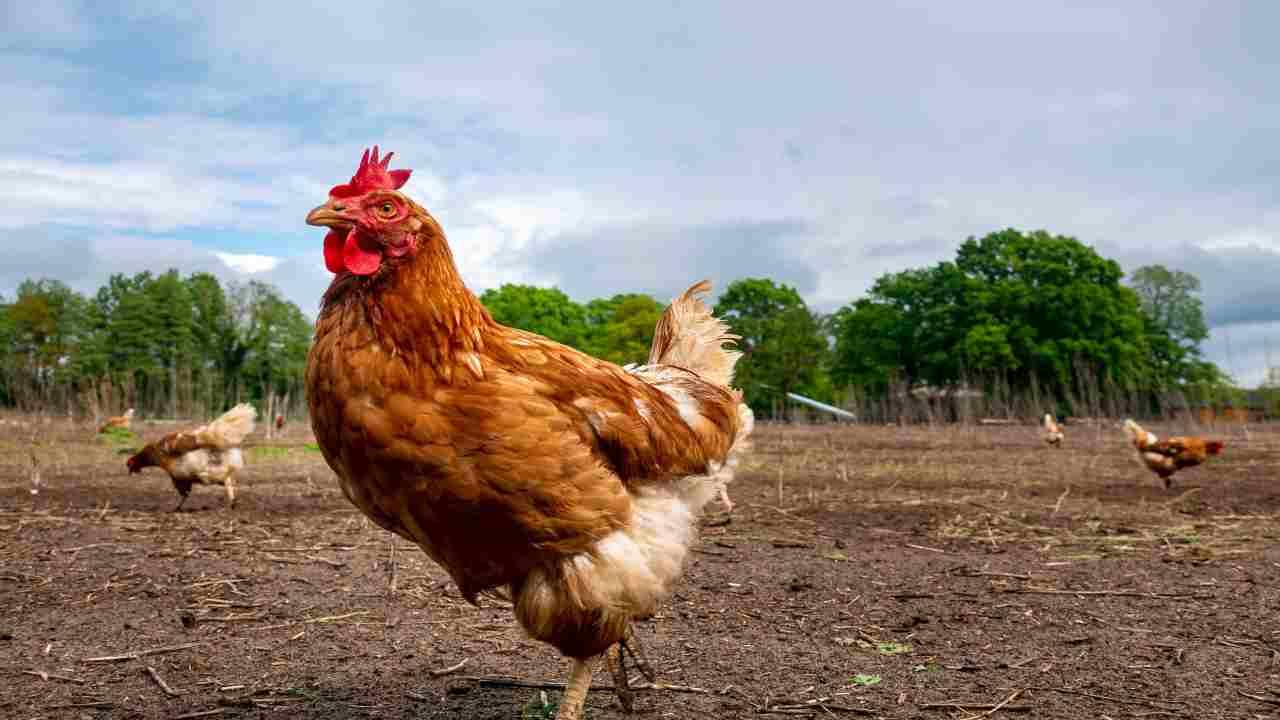 il pollo fa male ormoni