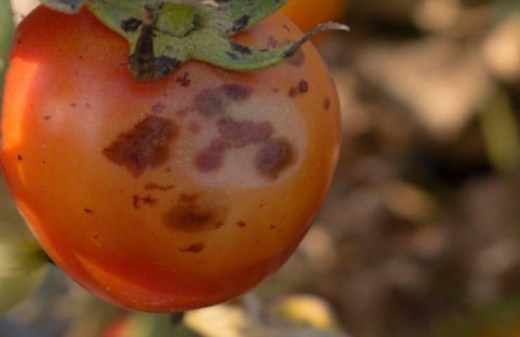 Il virus ToBRFV devasta le piante di pomodori e peperoni