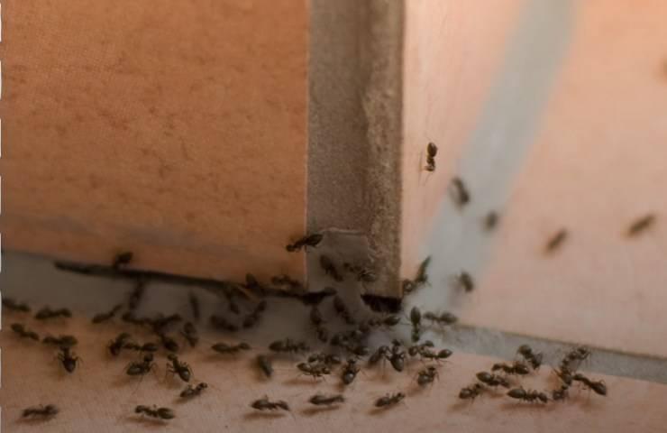 Formiche in casa come debellarle