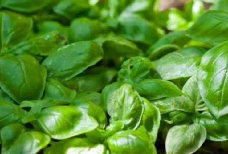 Pesto di agrumi FOTO ricettasprint